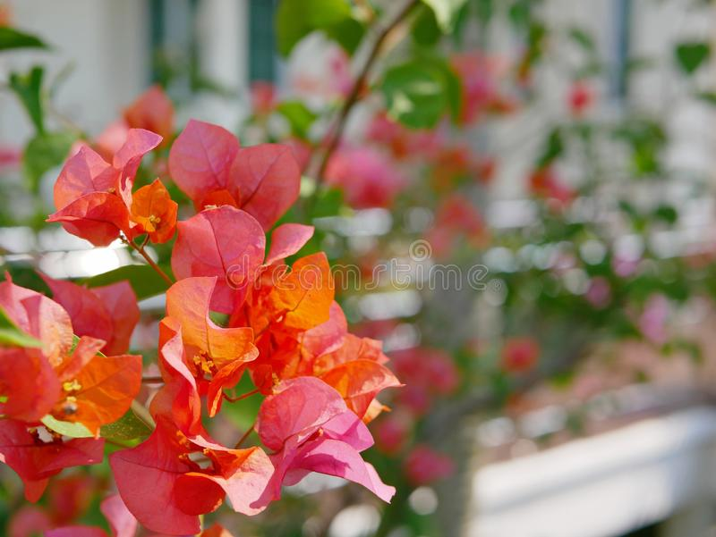 Las flores anaranjadas rojizas al aire libre de la buganvilla plantaron afuera para adornar una casa imágenes de archivo libres de regalías