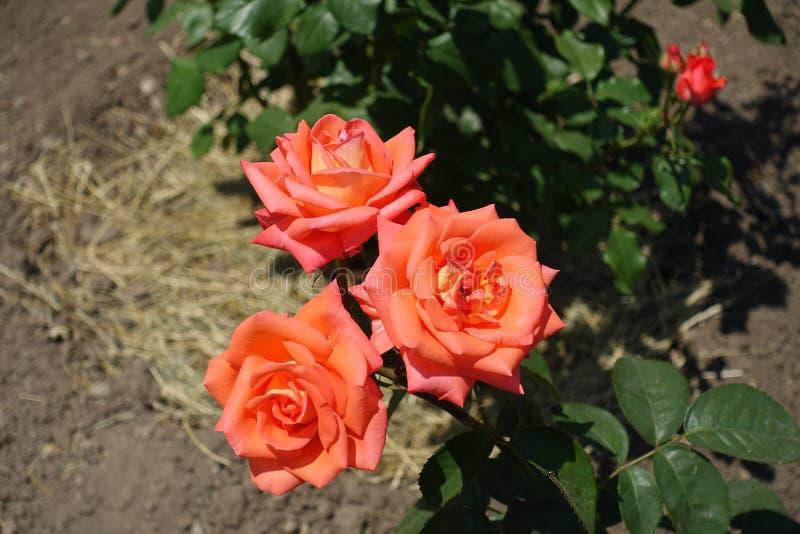 Las flores anaranjadas rosáceas de subieron imagenes de archivo