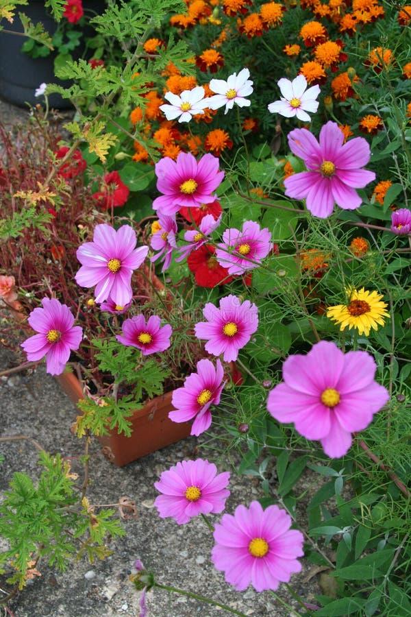 Las flores anuales clasificadas florecen en jardín del verano tardío imagen de archivo libre de regalías
