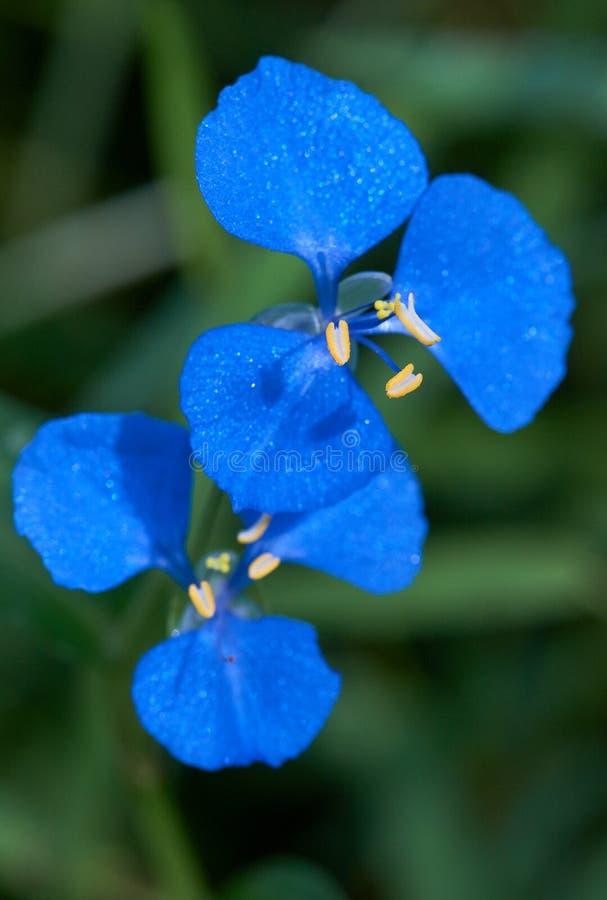 Las flores azules brillantes del cyanea de Commelina de la mala hierba del escorbuto foto de archivo