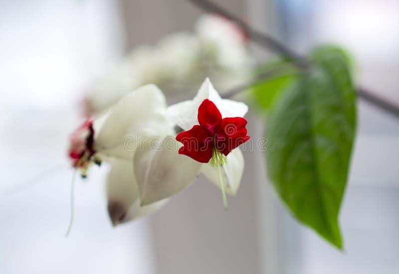Las flores blancas de la planta llamaron clerodendrum imagen de archivo libre de regalías