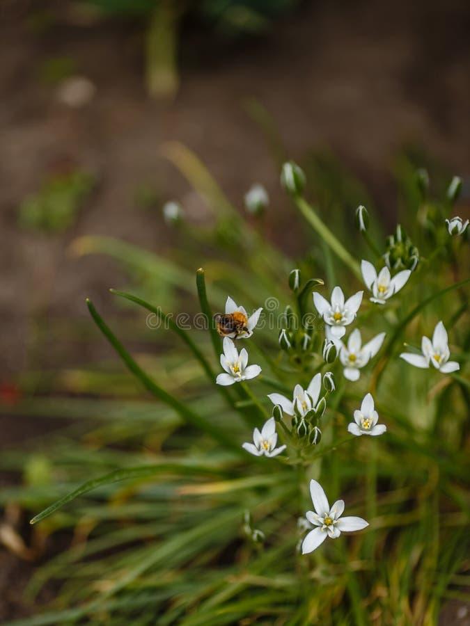 Las flores blancas en un macizo de flores llamaron el jardín de la primavera del ornithogalum fotos de archivo libres de regalías