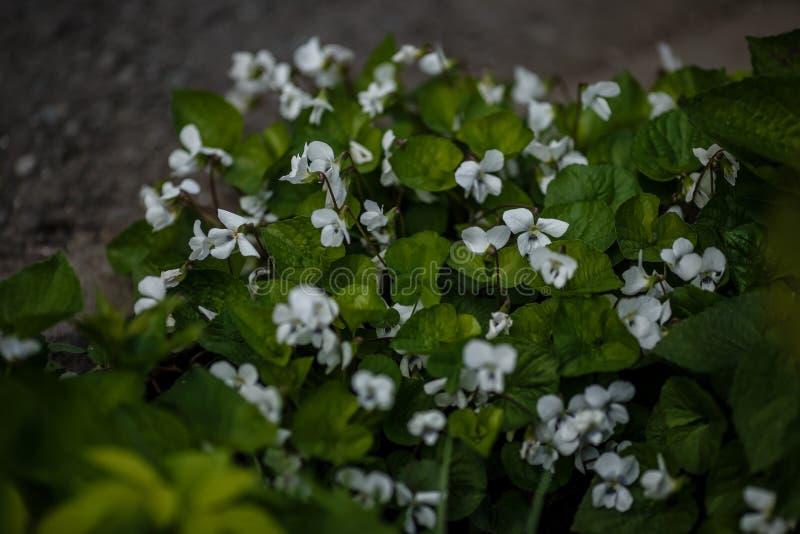Las flores blancas florecen en el parque o en el jardín foto de archivo libre de regalías