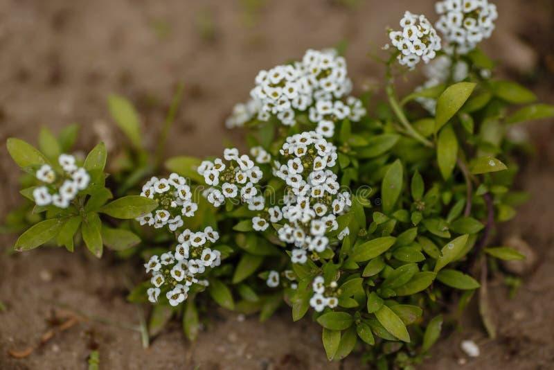 Las flores blancas florecen en el parque o en el jardín fotografía de archivo libre de regalías