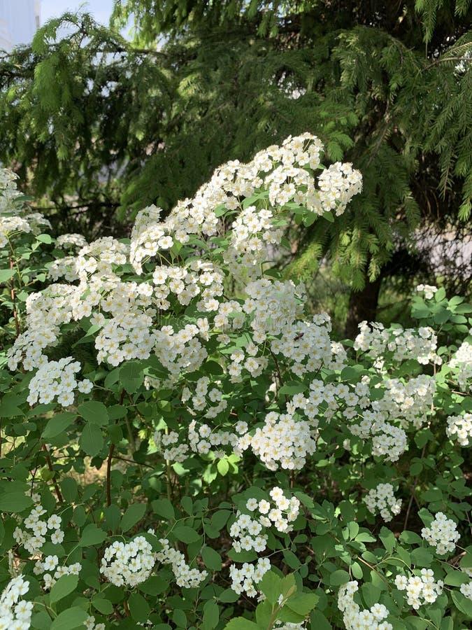 Las flores blancas florecen en el parque o en el jardín imágenes de archivo libres de regalías