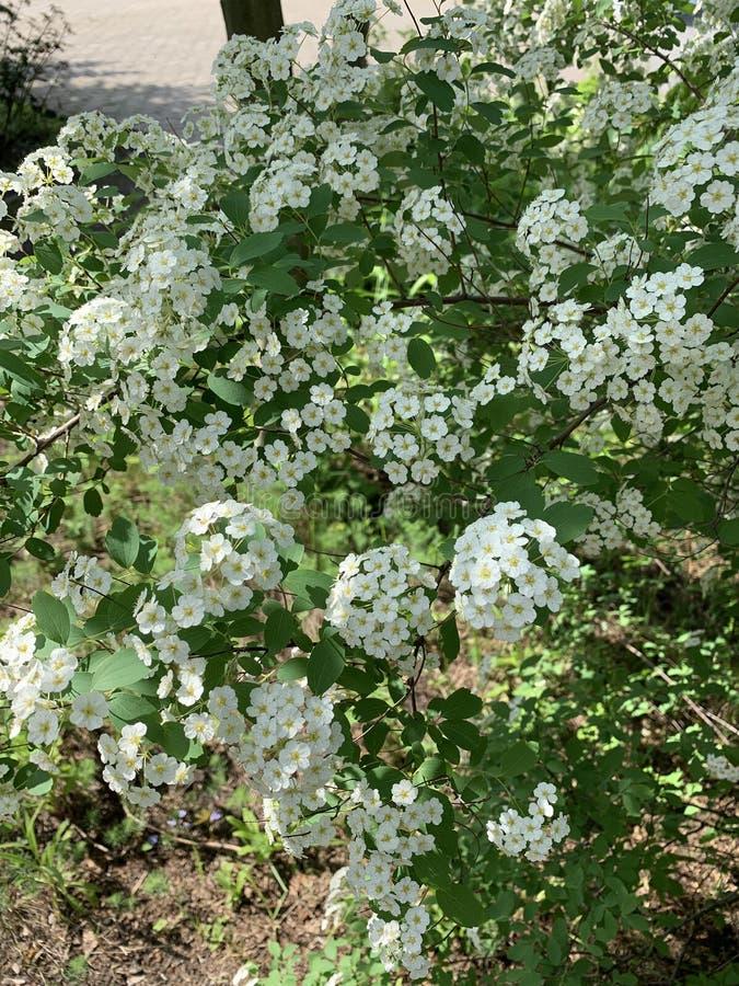 Las flores blancas florecen en el parque o en el jardín fotografía de archivo