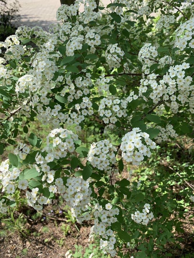 Las flores blancas florecen en el parque o en el jardín fotos de archivo