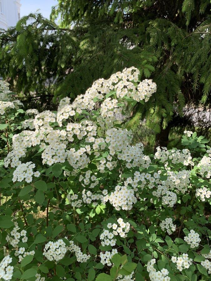 Las flores blancas florecen en el parque o en el jardín fotos de archivo libres de regalías