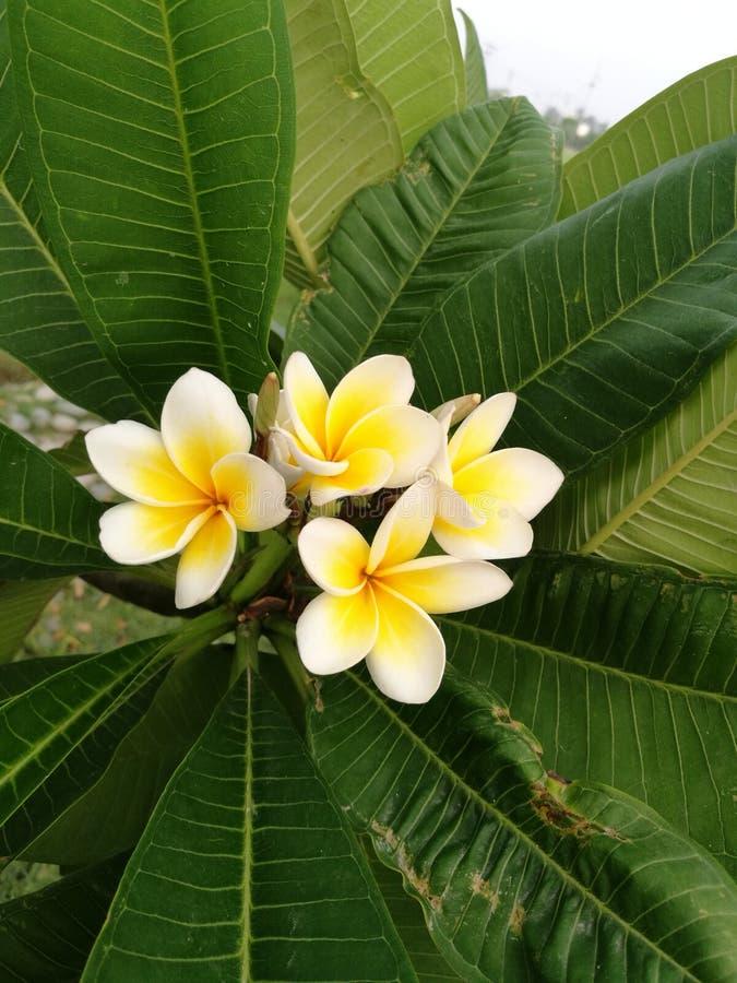 Las flores blancas y amarillas entre verde largo se van foto de archivo libre de regalías