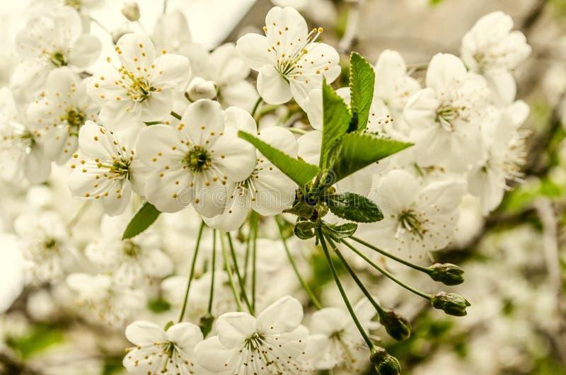 Las flores blancas y el verde unrevealed sale del cerezo fotos de archivo
