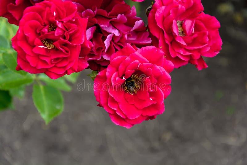 Las flores brillantes hermosas de rosas en un verano soleado cultivan un huerto fotografía de archivo