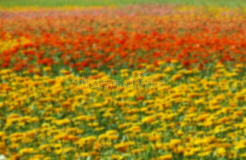Las flores coloridas de la maravilla empañaron el fondo imagenes de archivo