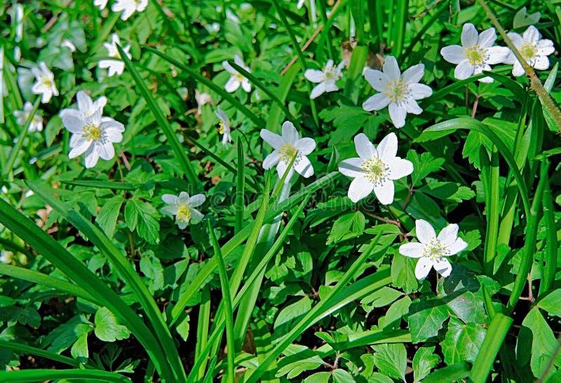 Las flores de Anemone In Deciduous Woodland de madera imagen de archivo