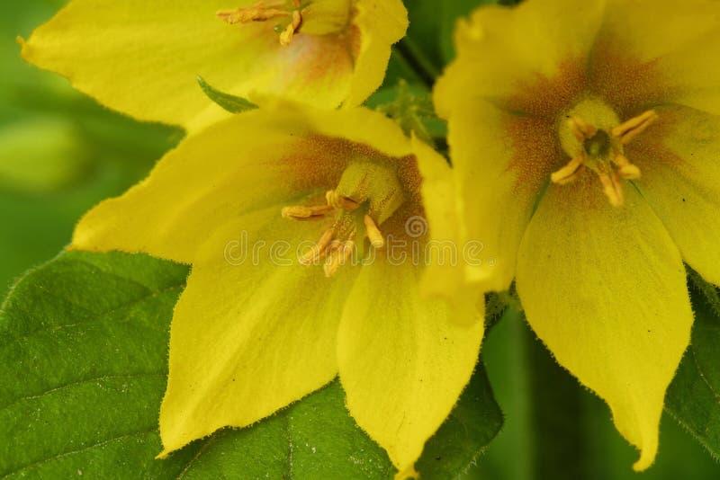 Las flores de campanas amarillas hermosas en el verano cultivan un huerto fotos de archivo