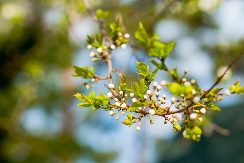 Las flores de cerezo durante la primavera borrosa del fondo de la naturaleza florecen el fondo de la primavera con la rama de árb fotos de archivo libres de regalías