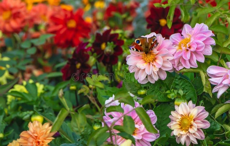 Las flores de las dalias del rosa con un pyri hermoso del Saturnia de la polilla del pavo real de la mariposa y las hojas verdes  imagen de archivo