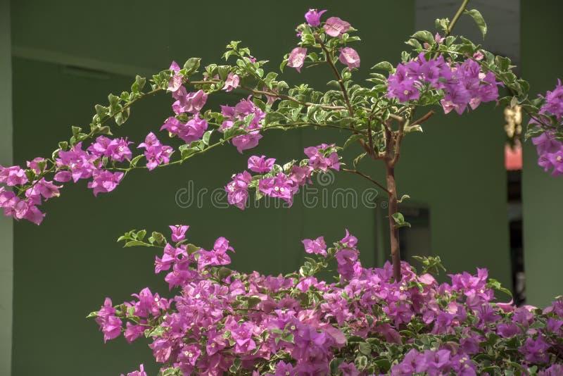 Las flores de la belleza pican la buganvilla fotografía de archivo libre de regalías