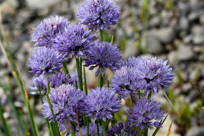 Las flores de la cebolla salvaje anotaron fotografía de archivo libre de regalías