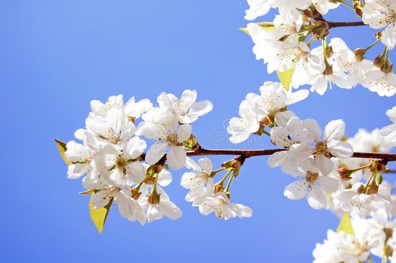 Las flores de la cereza en resorte cultivan un huerto en el cielo azul fotos de archivo libres de regalías