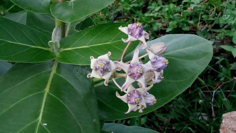 Las flores de la estrella fotografía de archivo