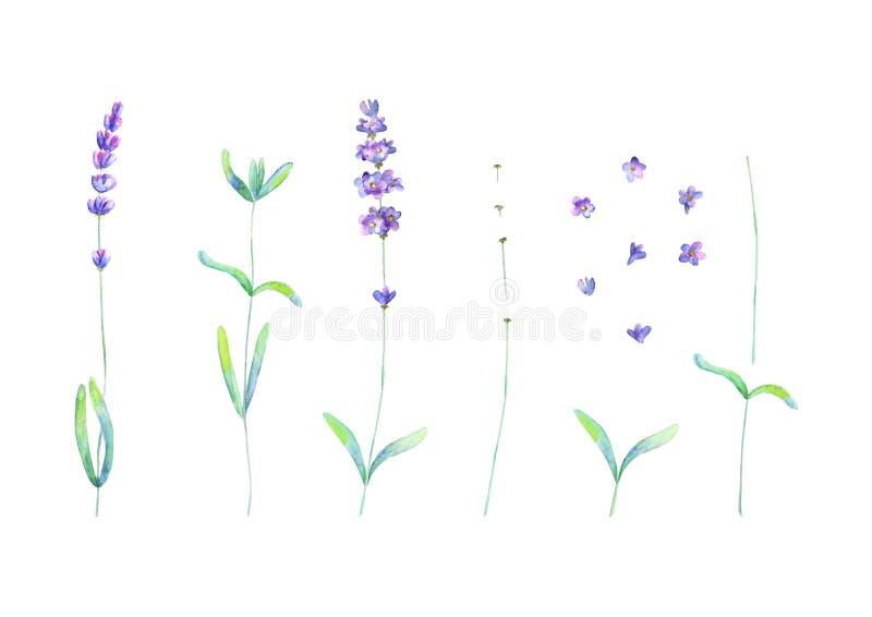 Las flores de la lavanda, dejan las plantas la acuarela verde p?rpura fijada aislada en el fondo blanco libre illustration