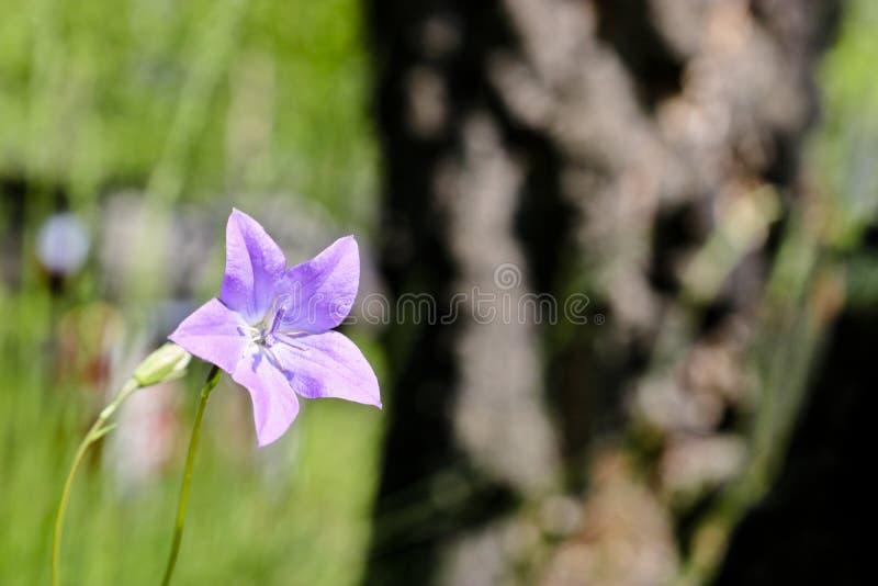 Las flores de la lila de la campánula del bosque Fondo borroso del bosque del verano imagen de archivo libre de regalías