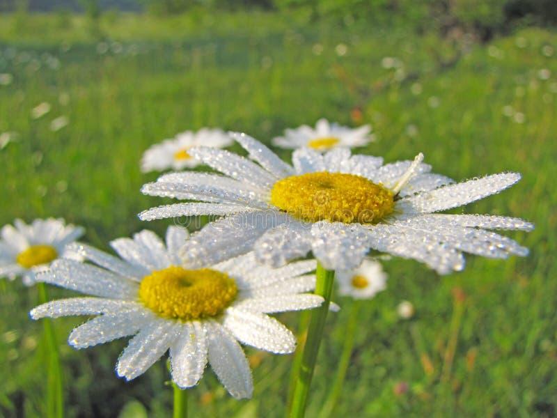 Las flores de la manzanilla de la manzanilla en descensos de la mañana rocían Humor alegre de la mañana imagen de archivo libre de regalías