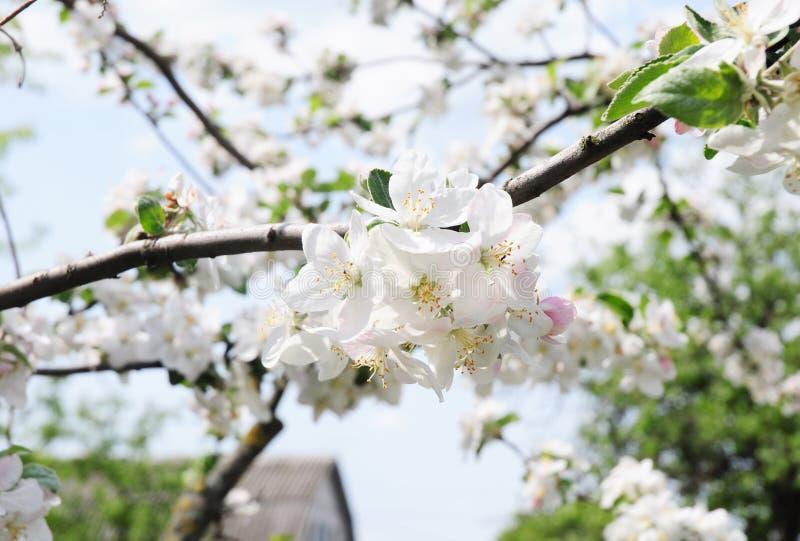 Las flores de la rama del manzano florecen Floraci?n de las flores del manzano imagenes de archivo