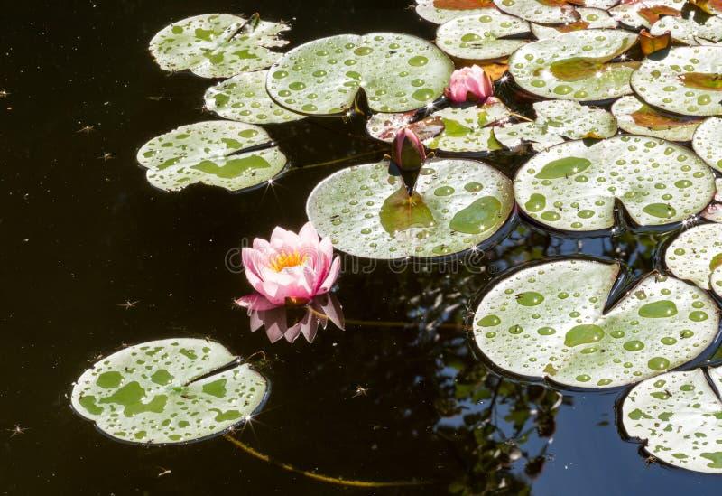 Las flores de loto o los lirios de agua rosados hermosos en la charca después de la lluvia en el día de verano soleado imagen de archivo