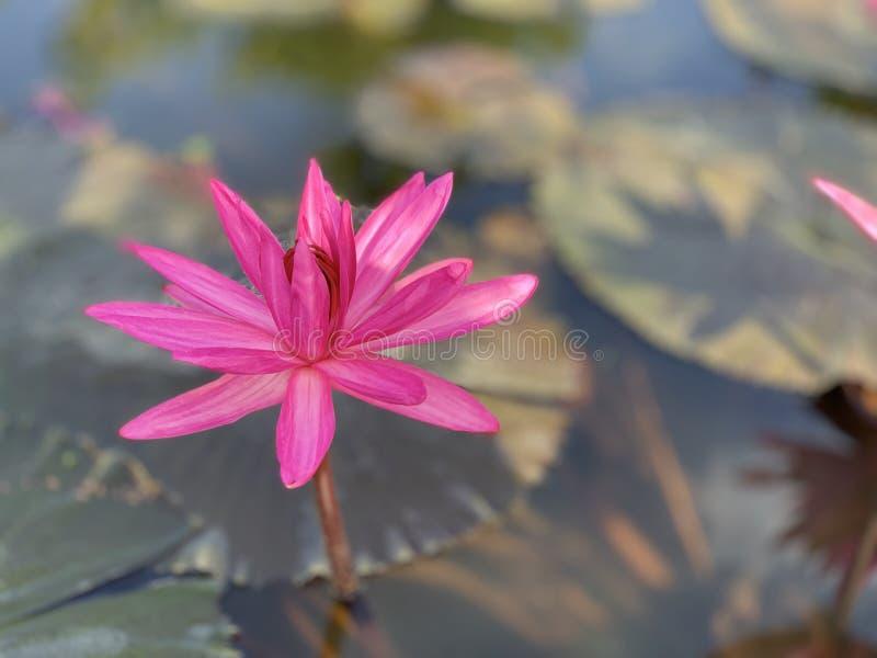 Las flores de loto rosadas se utilizan para ofrecer a monjes O utilizado para adornar en un florero fotografía de archivo libre de regalías