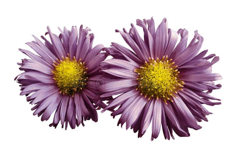 Las flores de las margaritas de la púrpura-perla en blanco aislaron el fondo Dos manzanillas para el diseño Visión desde arriba P fotografía de archivo libre de regalías