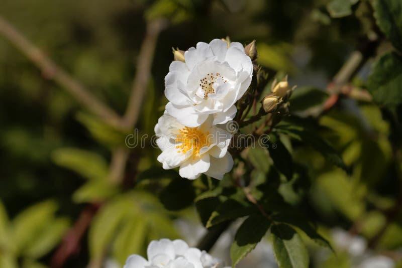 Las flores de un rector trepador subieron imagen de archivo libre de regalías