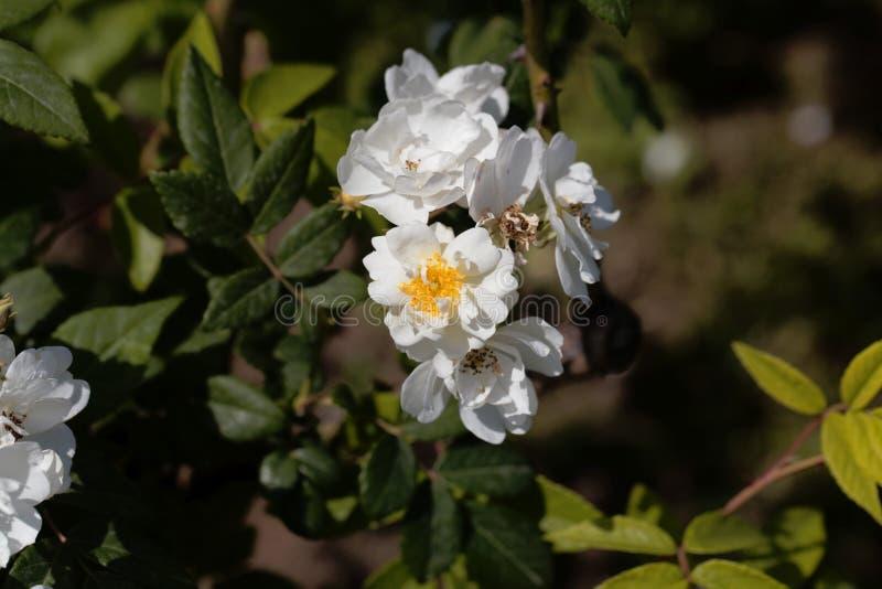 Las flores de un rector trepador subieron foto de archivo libre de regalías