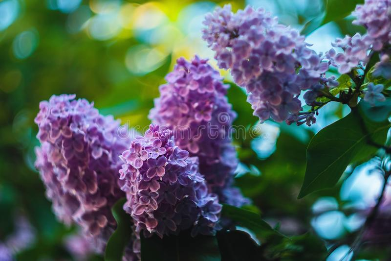 Las flores de una lila florecen fotografía de archivo libre de regalías