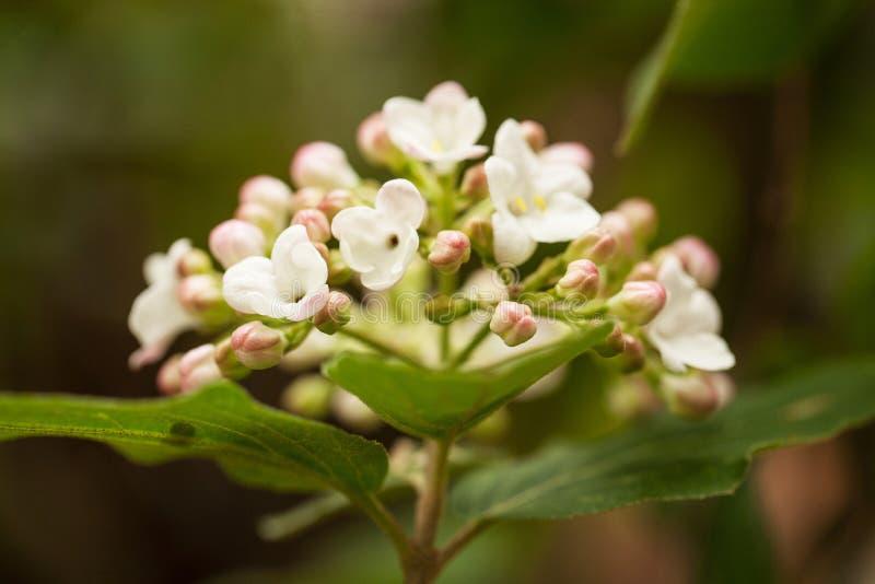 Las flores de Vibernum se cierran para arriba en primavera imagen de archivo