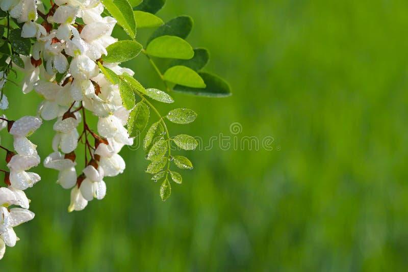 Las flores del acacia blanco en gotitas del rocío de la mañana son encendidas por los rayos del sol Fondo verde borroso para pone foto de archivo libre de regalías