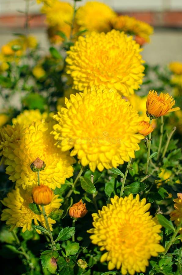 Las flores del crisantemo crecen al aire libre en la caída imagenes de archivo
