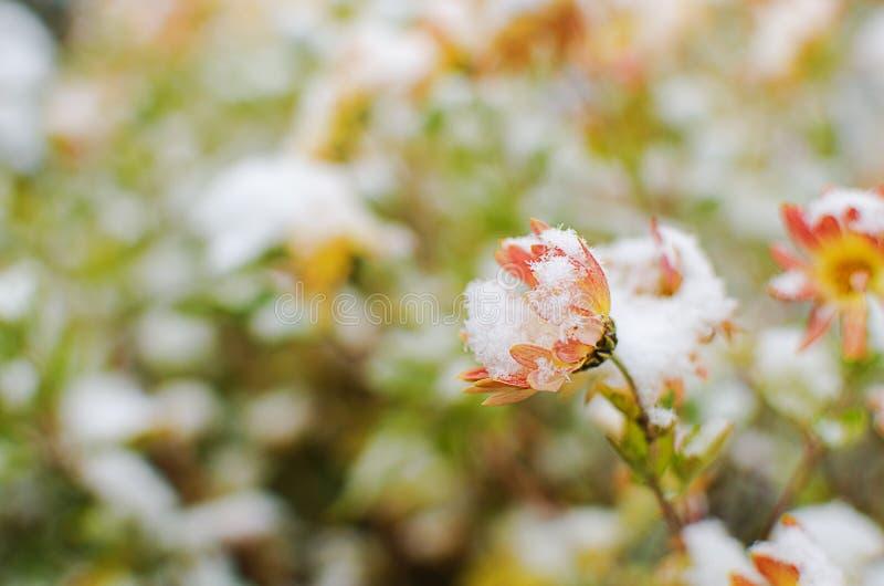 Las flores del crisantemo crecen al aire libre en la caída imagen de archivo
