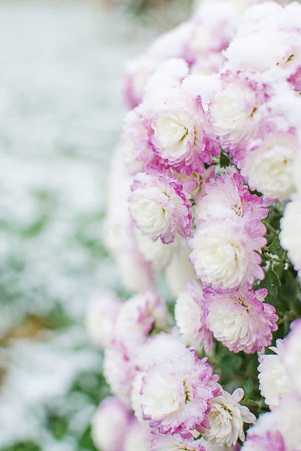 Las flores del crisantemo crecen al aire libre en la caída fotografía de archivo