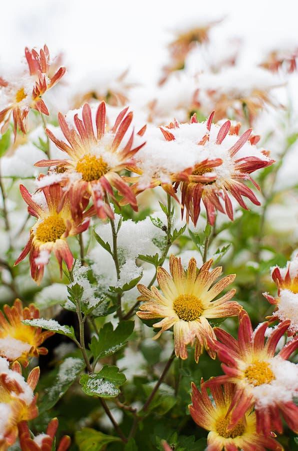 Las flores del crisantemo crecen al aire libre en la caída imágenes de archivo libres de regalías