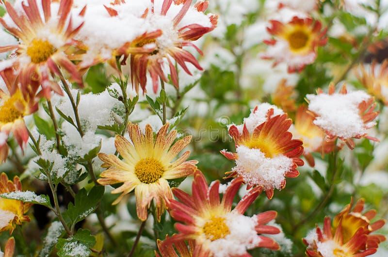 Las flores del crisantemo crecen al aire libre en la caída foto de archivo