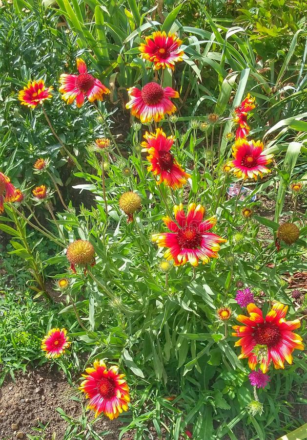 Las flores del crisantemo del od del poder imágenes de archivo libres de regalías
