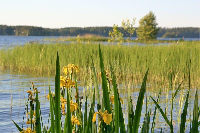 Las flores del iris amarillo están floreciendo por el lago imagenes de archivo