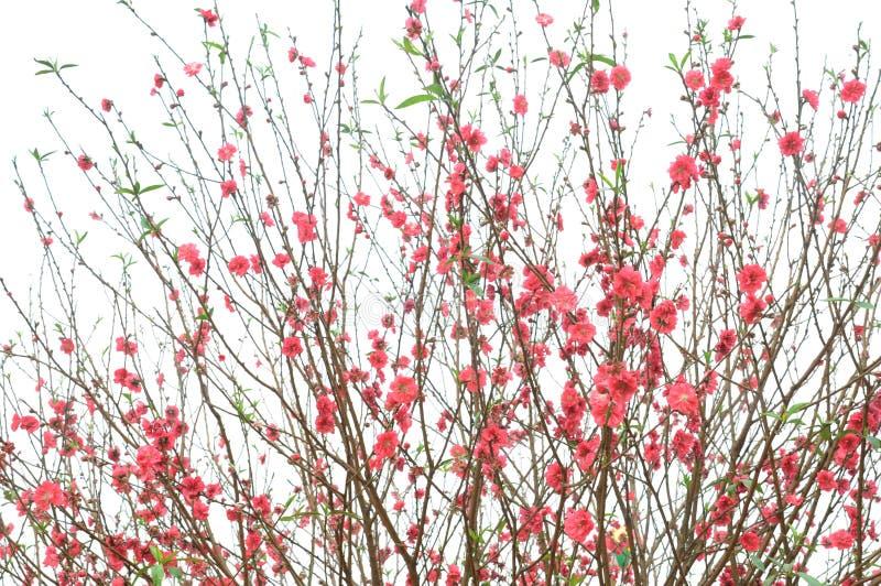 Las flores del melocotón del resorte imagenes de archivo