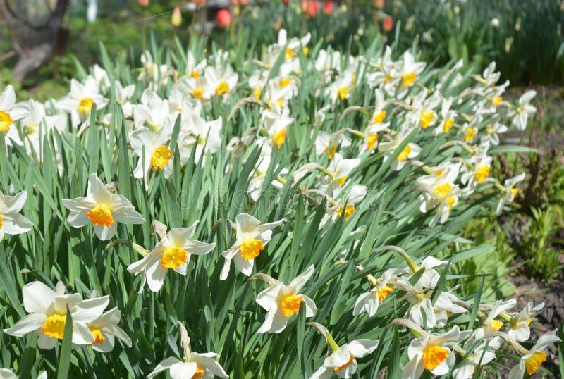 Las flores del narciso florecen la cama con amarillo de la deriva Narcisos dobles blancos de los narcisos de las flores del narci fotos de archivo libres de regalías