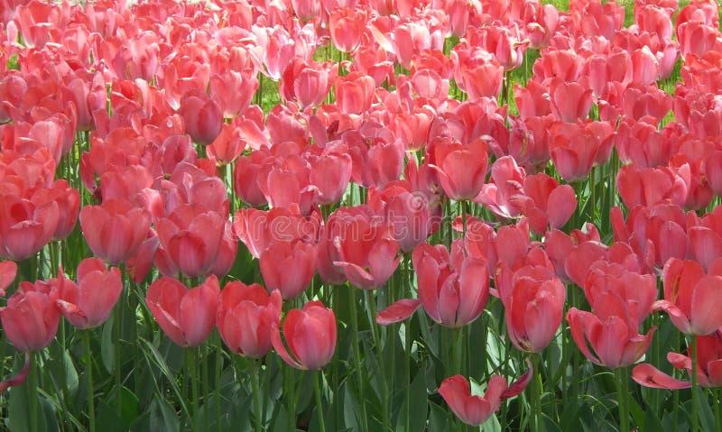 Las flores del tulipán son la mejor opción para la celebración del día de madre fotos de archivo