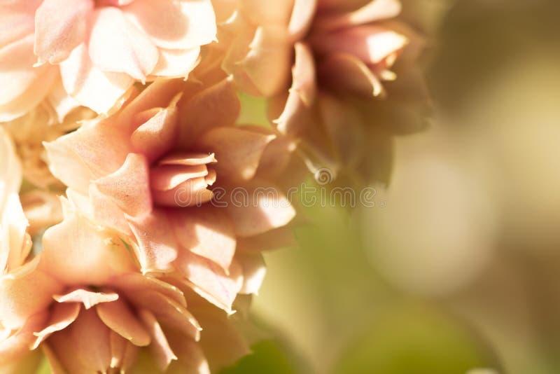 Las flores delicadas anaranjadas el fondo son bokeh Flor Kalanch imagen de archivo libre de regalías