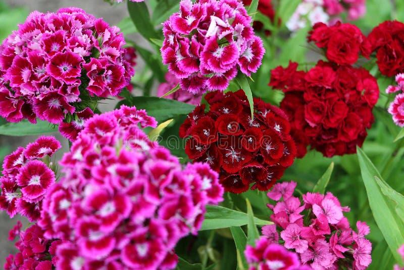 Las flores dulces coloridas de Guillermo se cierran para arriba fotografía de archivo libre de regalías