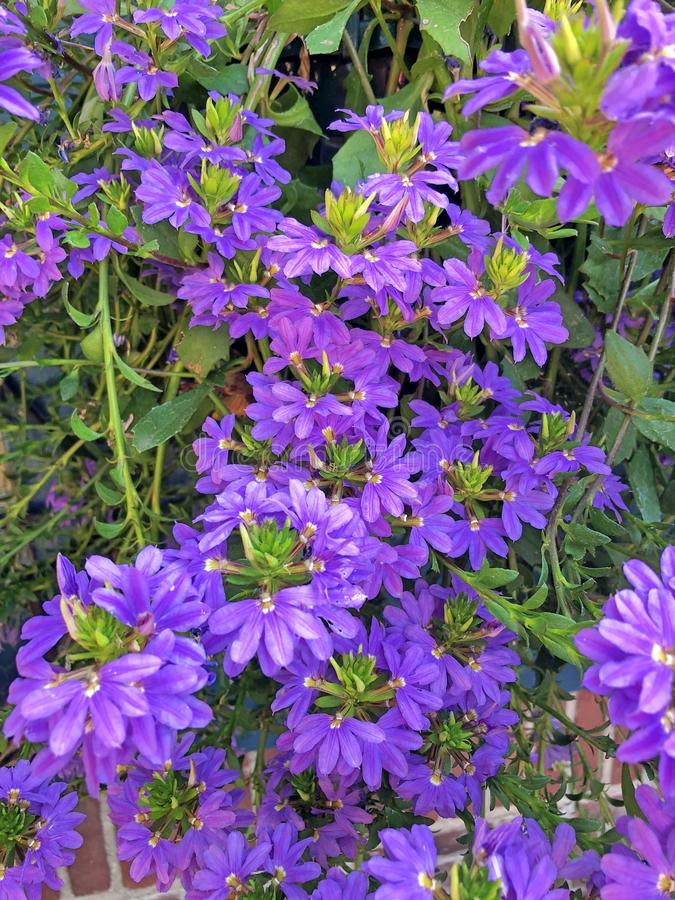 Las flores en abanico de la planta violeta de Scaevola fotografía de archivo