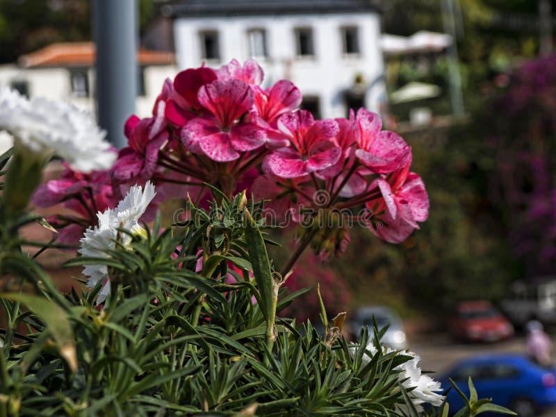 Las flores en Camara de Lobos un pueblo pesquero cerca de la ciudad de Funchal y tienen algunos de los acantilados más altos en e fotografía de archivo